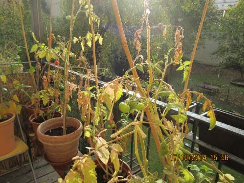 tomaten aufm balkon